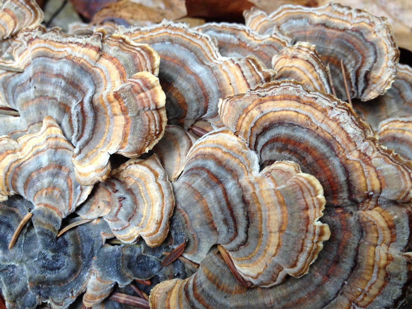 centerpond-mushroom